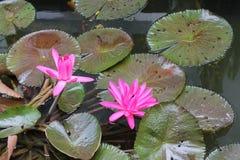 与五颜六色的鱼的莲花 免版税库存图片