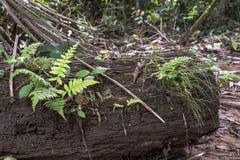 与亚马孙河盆地雨林植物群的被弄脏的自然背景在南美洲 库存图片