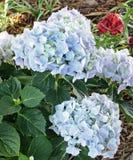 与亚洲百合的蓝色八仙花属在背景中 免版税库存照片