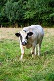 与交通事故多发地段的白色公牛在头 库存照片