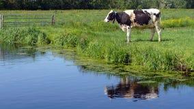 与交通事故多发地段的白色奶牛吃草在绿草牧场地的 免版税库存图片