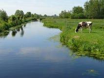 与交通事故多发地段的白色奶牛吃草在绿草牧场地的 免版税图库摄影