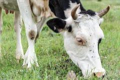 与交通事故多发地段的白色母牛 库存照片