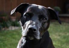 与亲切的眼睛的美丽的发光的黑拉布拉多斯塔福德郡杂种犬杂种狗 图库摄影