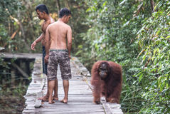 与人的猩猩在森林里 免版税库存图片