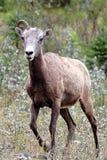 与仅一块垫铁的一只母大角野绵羊 免版税库存照片