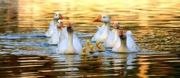 与他们的家庭的美丽的鸭子 库存照片