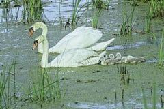 与他们的小天鹅的天鹅在沼泽 免版税库存图片