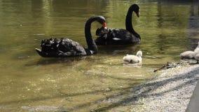 与他们的小鸡的黑天鹅 股票录像