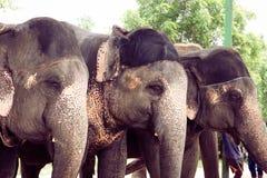 与他们的被绘的头一起的三头大象立场 图库摄影