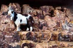 与他的嘴的石山羊公开调查照相机 免版税库存图片