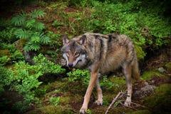 与他的抓住的狼 图库摄影