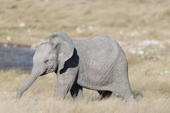 与他的树干的一头逗人喜爱的婴孩大象扩大了在waterhole前面的身分 免版税库存照片