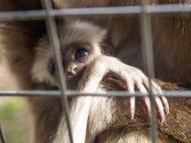 与他的母亲的一只婴孩家神长臂猿在酒吧后 免版税库存照片
