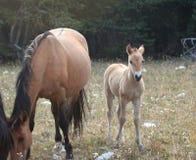与他的母亲的小驹马驹野马在怀俄明和蒙大拿美国的边界的普莱尔山野马范围的 图库摄影