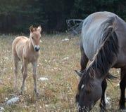 与他的母亲的小驹马驹野马在怀俄明和蒙大拿美国的边界的普莱尔山野马范围的 免版税图库摄影