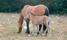 与他的母亲的小驹马驹野马在怀俄明和蒙大拿美国的边界的普莱尔山野马范围的 免版税库存照片