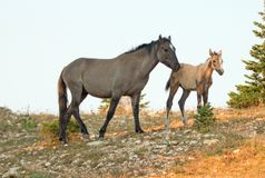 与他的母亲的小驹马驹野马在怀俄明和蒙大拿美国的边界的普莱尔山野马范围的 库存图片