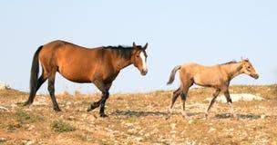 与他的母亲的小驹马驹野马在怀俄明和蒙大拿美国的边界的普莱尔山野马范围的 免版税库存图片