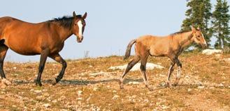 与他的母亲的小驹马驹野马在怀俄明和蒙大拿美国的边界的普莱尔山野马范围的 库存照片