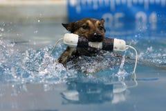 与他的防撞器的比利时Malinois游泳 免版税库存照片