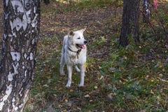 与他的非常突出在秋天森林里的舌头的滑稽的逗人喜爱的狗日本人秋田inu在秋天 免版税库存图片
