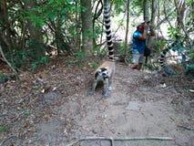 与他长的浣熊的卡塔狐猴 免版税库存照片