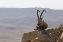 与休息在石头中的胡子和大垫铁的石山羊 库存图片