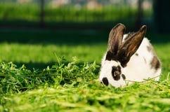 与休息在草的黑小点的白色兔子 免版税库存照片