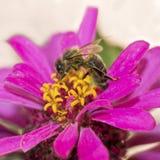 与会集花粉的蜂蜜蜂的百日菊属花 免版税库存图片