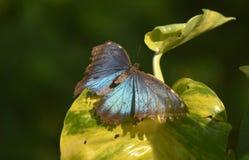 与伟大的看的翼的妙极蓝色Morpho蝴蝶打开 免版税库存图片