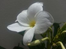 与伟大的黄色树荫的白花 库存图片