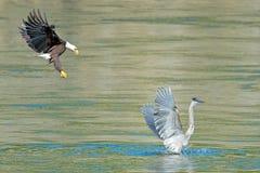 与伟大蓝色的苍鹭的巢的美国白头鹰 库存图片