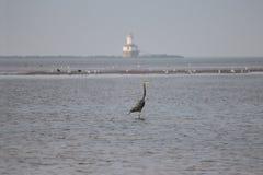 与伟大蓝色的苍鹭的巢的Summerside水看法 免版税库存照片