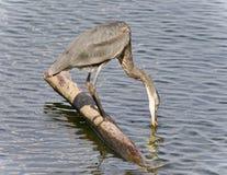 与伟大蓝色的苍鹭的巢饮用水的明信片 库存照片