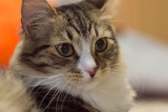 与传神眼睛的美丽的猫 免版税库存图片
