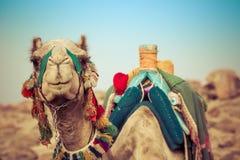 与传统流浪的马鞍的骆驼位置在埃及 免版税图库摄影