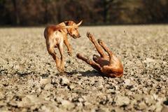 与作用战斗的狗 免版税库存照片