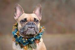 与佩带在模糊的背景前面的深复牙的女性棕色法国牛头犬狗陈列微笑一个自制bue花卉衣领 免版税库存照片