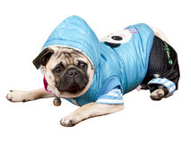 与佩带的衣裳的滑稽的狗 免版税库存图片