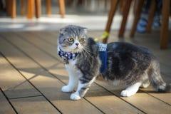 与佩带蓝色格子花呢披肩蝶形领结的独特的被折叠的耳朵的逗人喜爱的苏格兰折叠猫品种 库存图片
