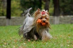 与使用与玩具的柔滑的头发的约克夏狗 库存照片