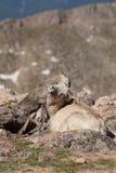 与供住宿的羊羔的大角野绵羊母羊 库存图片