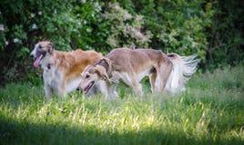 与俄国猎狼犬的波斯灵狮我 库存照片