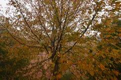 与俏丽的叶子的树到期与秋天的颜色在Medulas古老罗马金矿在与很多雾的一天在Med 免版税库存图片