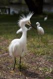 与保护疆土的被翻动的羽毛的白色白鹭 白色起重机 背景蓝色云彩调遣草绿色本质天空空白小束 免版税图库摄影