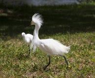 与保护疆土的被翻动的羽毛的白色白鹭 白色起重机 图库摄影