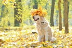 与做的花冠的滑稽的拉布拉多猎犬 免版税库存照片