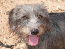 与停留一条桃红色的舌头的灰色混杂的品种狗 库存图片