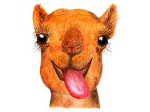 与停留他的舌头的滑稽的骆驼 免版税库存图片